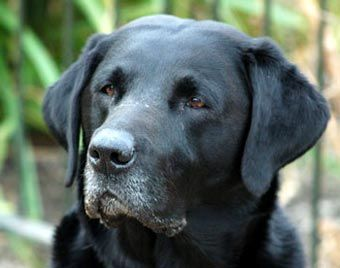 My black lab, Nell, was without question the best dog I ever had. If you find a lab at a shelter, grab it and take it home. You won't be sorry.