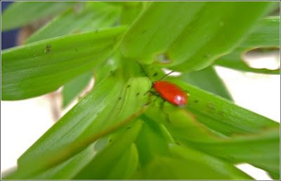 A lady bug (beetle) on a flower plant, Toronto, 2010