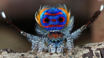 Imagenes de arañas: Fotografia curiosa araña azul  [8-1-17]