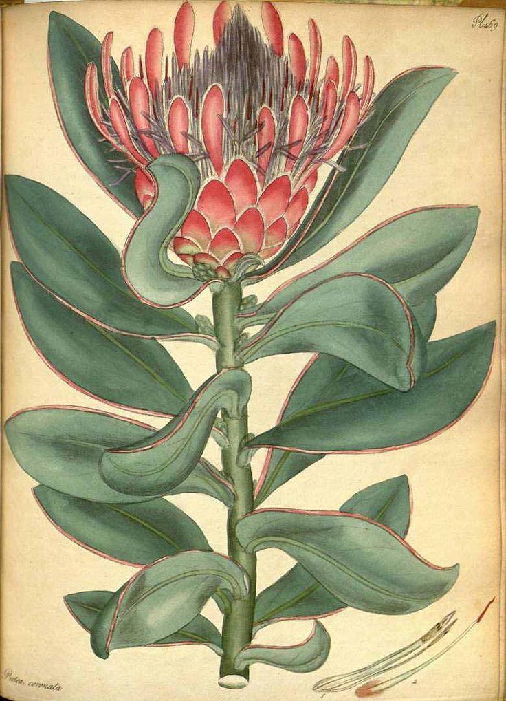 112070 Protea coronata Lam. / The botanist's repository [H.C. Andrews], vol. 7: t. 469 (1806-1807) [H.C. Andrews]