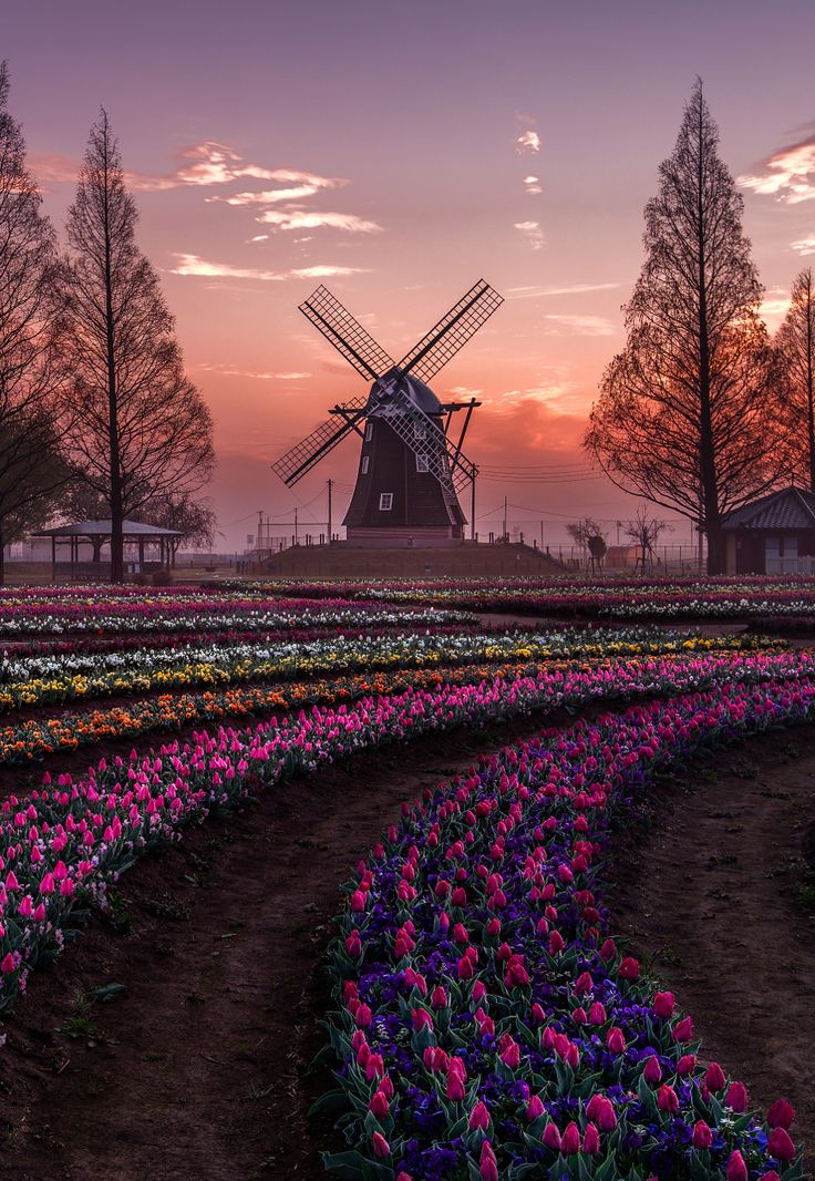 Sunrise in a Tulip farm in Japan