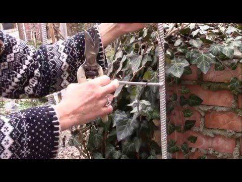Кампсис.  Как сделать обрезку весной красивой лиане?