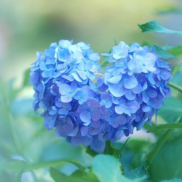 Kyoto. Japan. Heart shaped hydrangea found in Mimurodo-Temple in Kyoto. 見つけたら恋愛成就?京都・三室戸寺の''ハート型のあじさい''が素敵すぎる