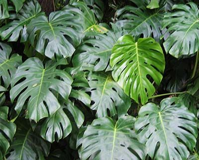 this is the philodendrons page of our a to z garden guide how to