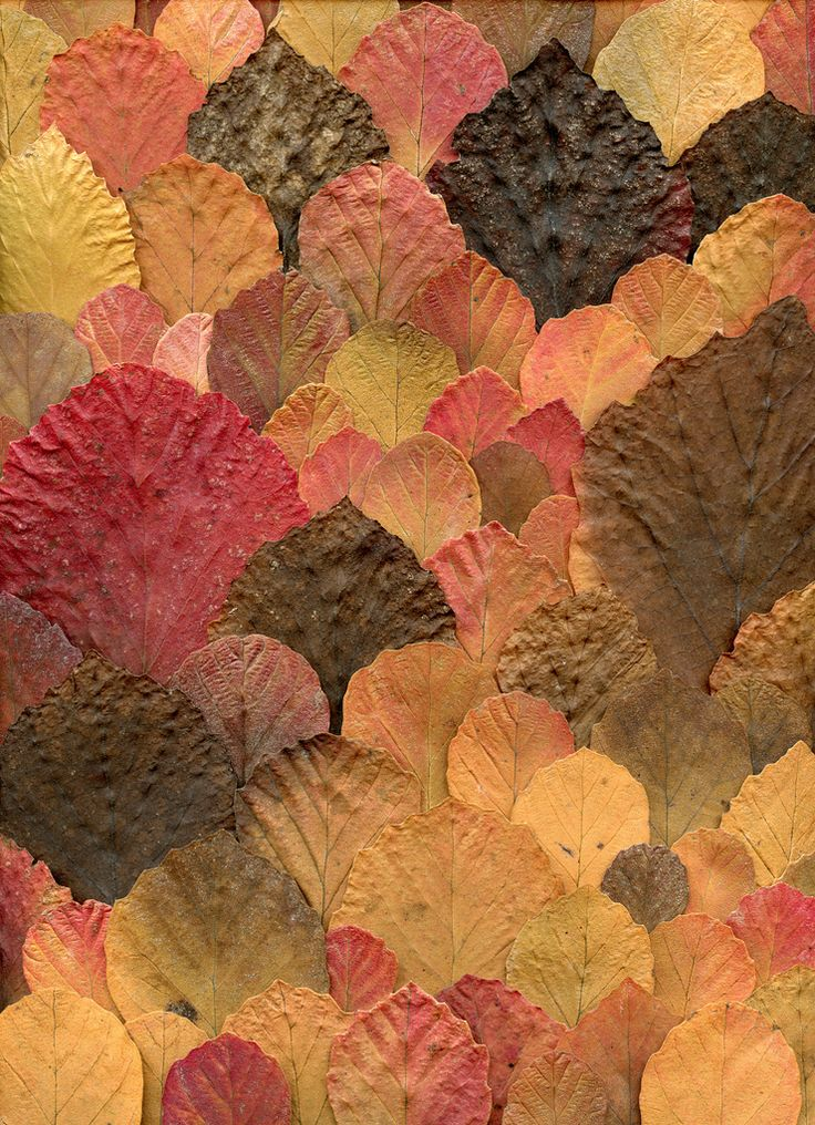 53985 Fothergilla by horticultural art on flickr