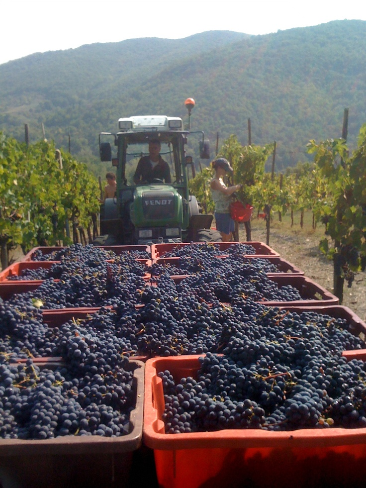 Bringing in the grapes