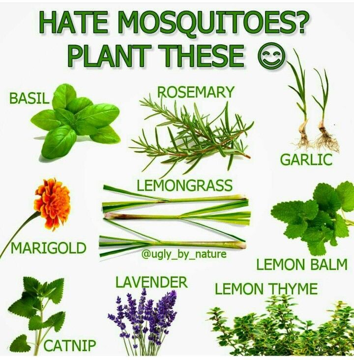 Hate mosquitos? Plant these!