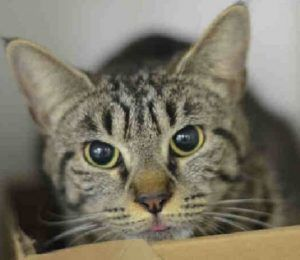 "♥ SAFE ♥ http://nyccats.urgentpodr.org/bowie-a1075111/ ***MOVED FROM TBD TO SUPER URGENT – ADORABLE 2 YEAR OLD GIRL WHO LIKES TO SHAKE HANDS*** BOWIE (A1075111) came to Staten Island Center as a STRAY, but the finder held on to her for few days and noted that she liked people and to be with his dog.  A volunteer writes: From being a ""shy girl"" to becoming so OUTGOING, PLAYFUL & FRIENDLY. She will even extend her paw to shake your hand. ♥ HOW CAN YOU SAY NO TO THIS CHARMING LADY! ♥"