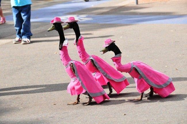 Ecco la grande sfilata di moda australiana...per oche