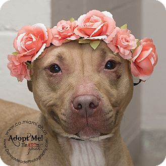 I am at a high kill shelter in Troy, OH - Pit Bull Terrier. Meet Lila, a dog for adoption. http://www.adoptapet.com/pet/15278402-troy-ohio-pit-bull-terrier