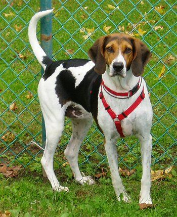 American Foxhounds - this looks a lot like our new dog, Chewy (because he chews a lot).  Sweet dog.  Good to read about his breed and needs.