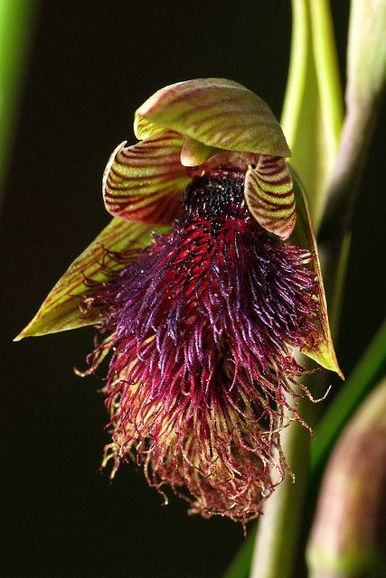 Purple-beard orchid [Calochilus platychilus] - Flickr - Photo Sharing!