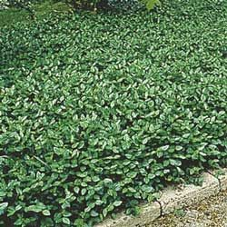 Thrives in a wide range of conditions, from full sun to dense shade. Vining evergreen 4- to 6- in. tall foliage turns purple in fall—lovely cascading over walls. Covers 20 sq. ft. Bareroot. Zones 4-8.     Purple wintercreeper