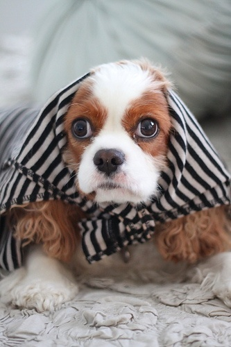 "Cavalier King Charles Spaniel looking quite the little lady in her fashionable ensemble.  Kelsey says she likes this look then adds that she has seen the Queen in similar attire on several ""day in the country"" occassions."