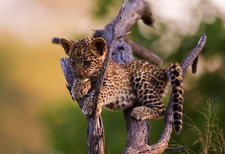 llbwwb:  Todays Cuteness:) Leopard Cub, Panthera pardus; Okavango Delta, Botswana,by Mathew Lucas.