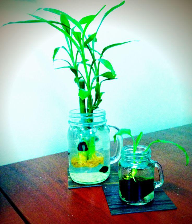 My Desk Plants! Lucky Bamboo, Marimo Moss Balls & Unbrella