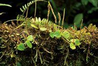 Las plantas epífitas pueden cubrir completamente la superficie de los troncos.