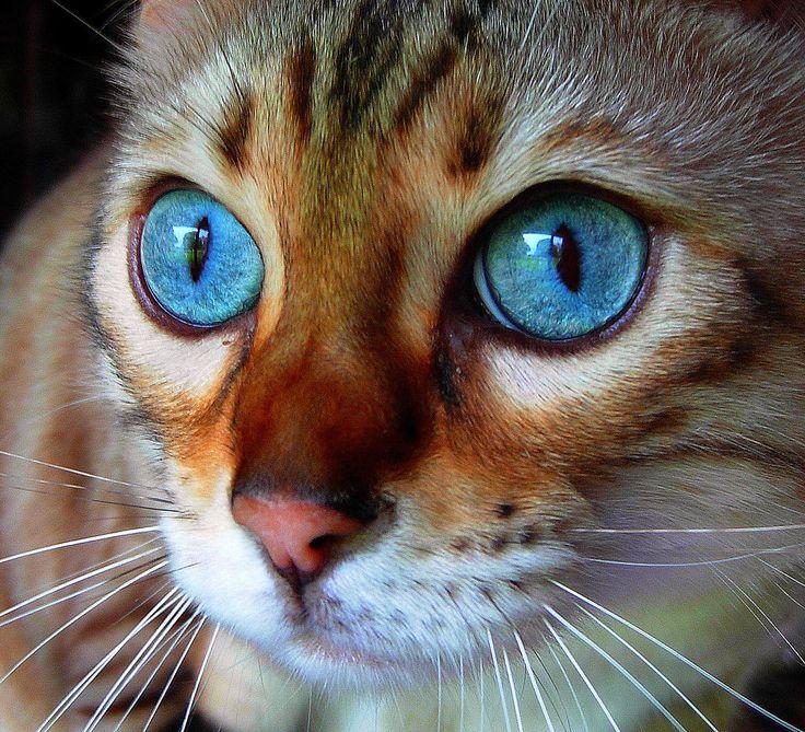 <3Beautiful Cat, Cat Eye, Bengal Cat, Blue Eye, Bengalcat, Beautiful Eye, Deep Blue, Animal, Cat Photos