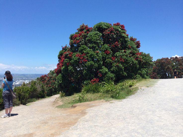 New Zealand's own Christmas Tree the famous Pohutukawa Tree