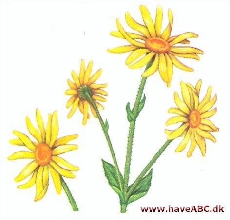 Guldblomme - Arnica montana