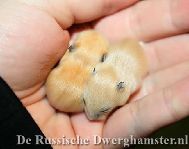 russische dwerghamsters mandarijn #dwerghamster #hamster #russischedwerghamster