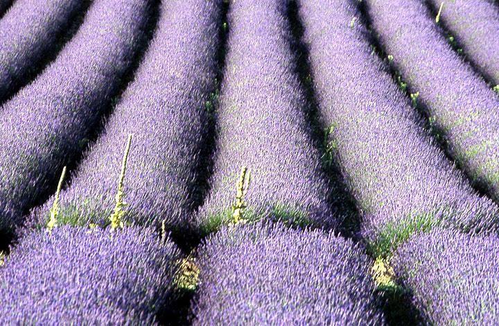 70 best Lavandas images on Pinterest Lavender Farmhouse and