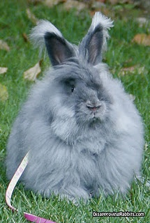 English Angora Rabbit has no guard hairs, so is the softest, and these guys have to be brushed regularly so they don't matt.