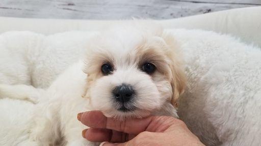 Maltipoo puppy for sale in LA MIRADA, CA. ADN-67425 on PuppyFinder.com Gender: Female. Age: 7 Weeks Old
