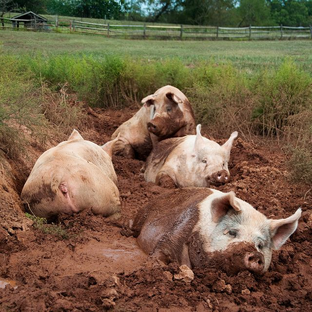 Living the life: Muddy Pigs, Happy Pigs, Country Living, Mud Bath, Farms Life, Country Life, Living Farms Animal, Health Petite, Funny Farms Animal