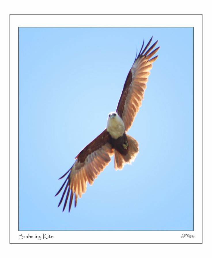 Brahminy kite Port Macquarie   Mid North Coast N.S.W  www.jjfphotography.com.au