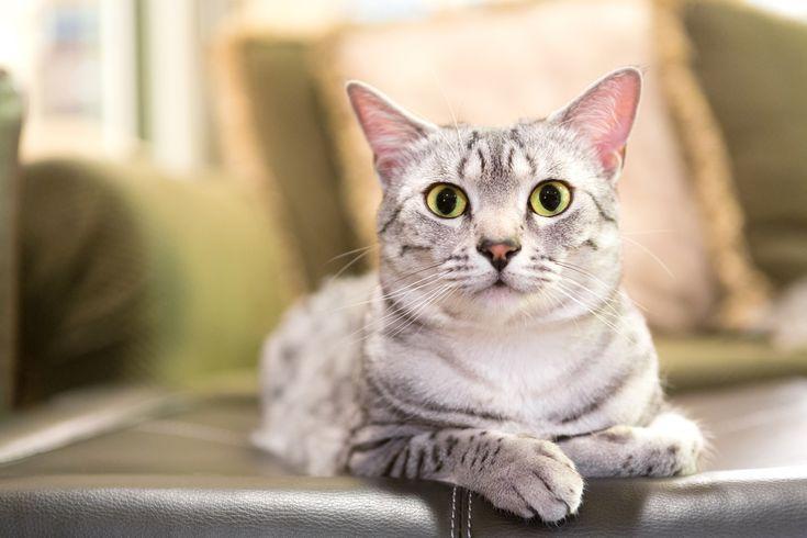 Rasseportrait: Die Ägyptische Mau gilt nicht nur als schnellste Katze der Welt, sie soll auch sehr musikalisch sein. Weitere Infos im Rasseportrait.