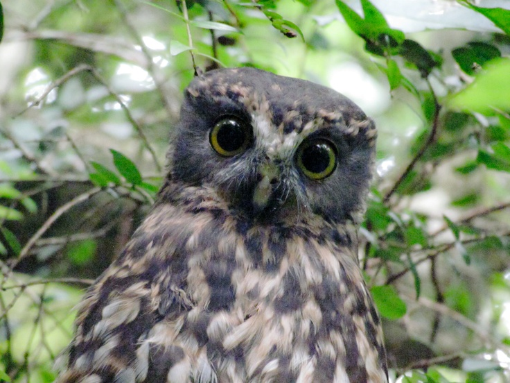 Morepork... One of the most beautiful birds ever