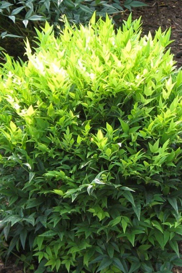 39 lemon lime 39 nandina portrait pool plants pinterest for Plante nandina