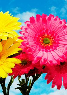 gerber daisies!: Floral Delight, Gerber Daisies, Gerbera Daisies, Happy Brain, Finding Happy, Happy Articles, Happy Http Bit Ly Hawwcg, Beautiful, Happy Expressions