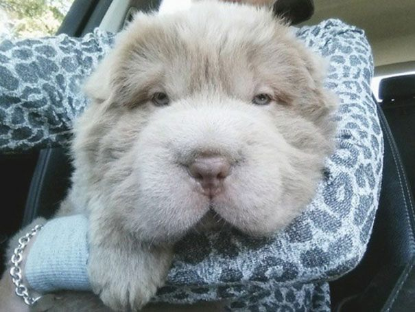 Adorable Shar-Pei Puppy Looks Like a Cuddly Teddy Bear - My Modern Met