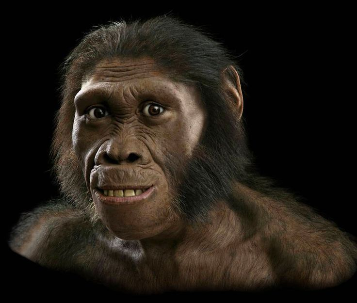 Australopithecus sediba. Cavidad craneal de unos 420-450 cm³ y unos brazos muy largos, una cara muy avanzada, con una nariz y dientes pequeños, una pelvis que le permitía caminar erguido y piernas largas. Se ha podido deducir que podía caminar y posiblemente correr como un sapiens. Dio lugar a la división entre Australopithecus africanus (que posteriormente daría lugar a chimpancés, gorilas y orangutanes) y Australopithecus garhi (que daría lugar al género Homo).