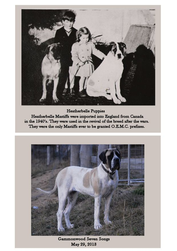 Pied English Mastiffs now and then