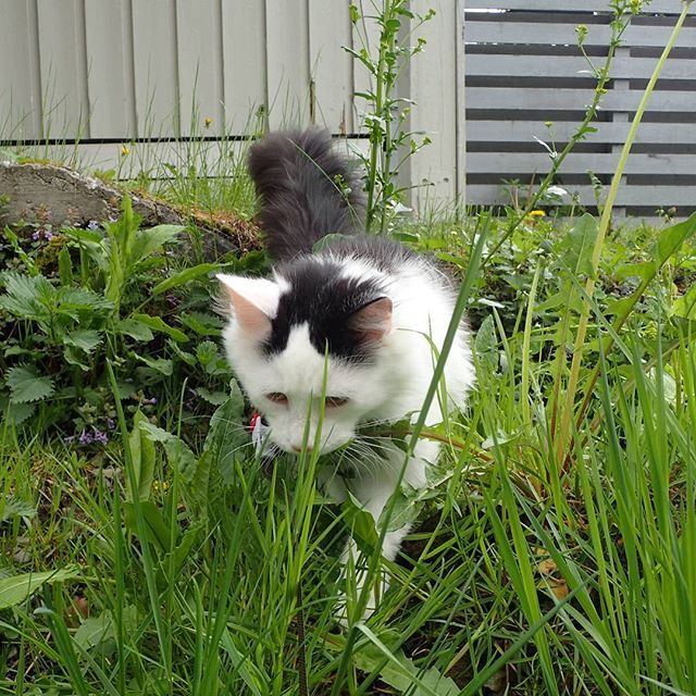 Rufus looking for something in the grass =) #catpasity #caturdayeveryday #cats #catsofinstagram #catstagram #kitty #cute #cat