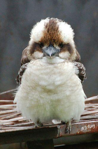 Baby Kookaburra