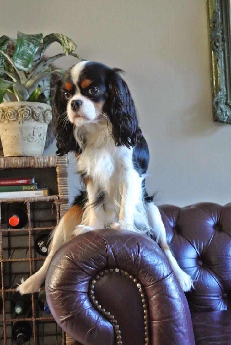 Cavalier King Charles Spaniël: Miss Milla at Home #CavalierKingCharlesSpaniel