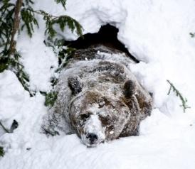 Do bears hibernate: Polar bear, black bear, grizzly bear sex and torpor. - Slate Magazine