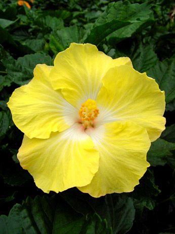 Hibiscus 'Bit O' Sunshine'