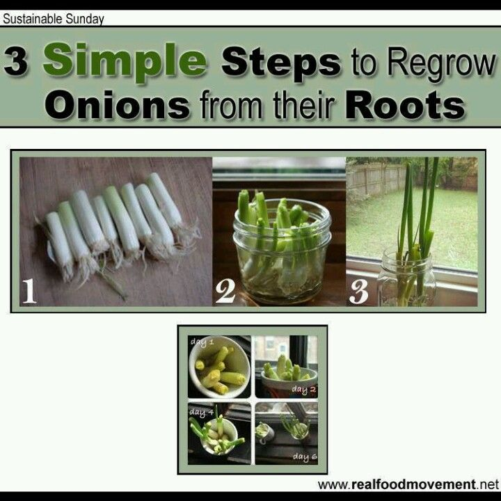 17 Best Images About Regrow Veggies On Pinterest: 35 Best Grow & Assess: Onion Images On Pinterest