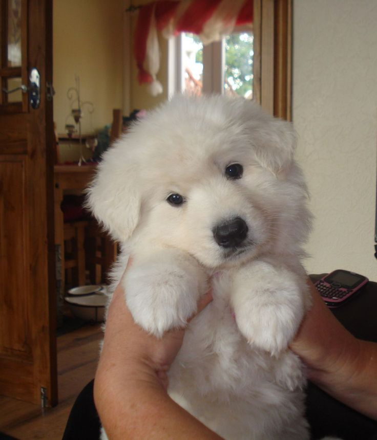 White German Shepherd Puppies | white long haired german shepherd puppies | Doncaster, South Yorkshire ...