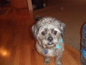 Crickett is an adoptable Schnauzer Dog in Milwaukee, WI. Hello - My name is Cricket. They believe that I am a 'schnoodle' a mixture of schnauzer and poodle or possibly a wire haired terrier and Schnau...