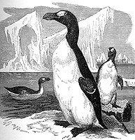 dibujo de 1898-El alca gigante (Pinguinus impennis) es una especie extinta de ave Charadriiforme de la familia Alcidae. Fue la más grande de las alcas. A diferencia de las especies actuales de alcas, la gigante carecía de la capacidad de vuelo, aunque era una buena nadadora y buceadora.