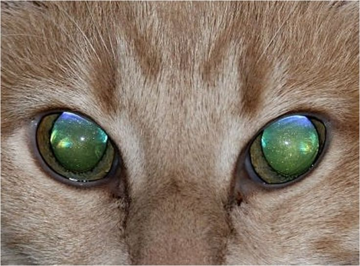 Tapetum lucidum reflicts light like a mirror, so the animal has clearer night vision.