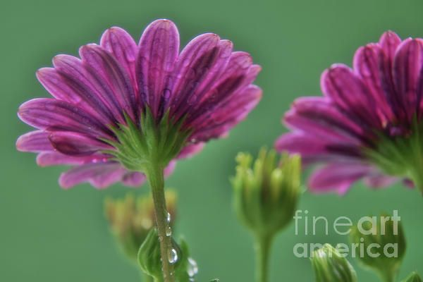 African Daisies with rain drops
