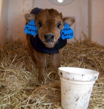 This is really cool! American Miniature Jersey. It only grows to about 3 or 3 1/2 feet tall and provides enough milk for a family. Need one ASAP