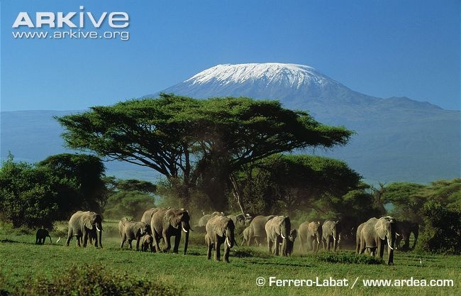 African elephant herd in savannah habitat - View amazing African elephant photos - Loxodonta africana - on ARKive